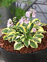 hosta Lucky Mouse Ears