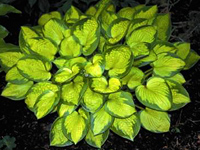 hosta Little Sunspot