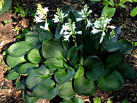 hosta Lakeside Lollipop