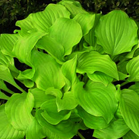 hosta Nancy